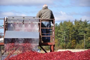 Man Cranberry bog